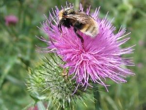 Wild bee - Click to see more bee pictures and butterflies.