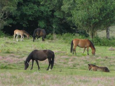 New Forest ponies grazing