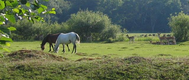 New Forest ponies and deer